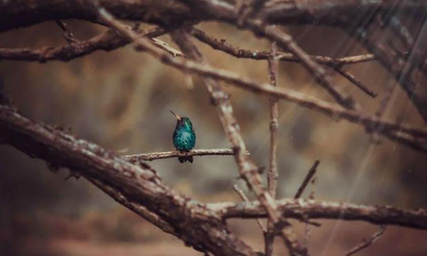 Imagem de passarinho azul pousado em galho de árvore (Foto: Pixabay)